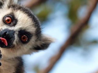 Madagaskar - příroda lemura